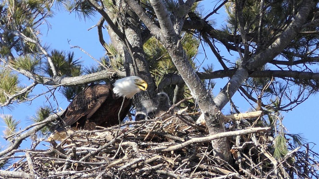 Three Eaglets